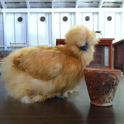 chickensfair1